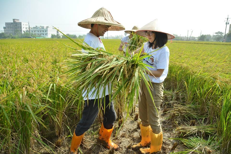 通稿照片03-為了更瞭解竹霄社區,中原大學師生親身體驗割稻活動與民眾一起收割.jpg