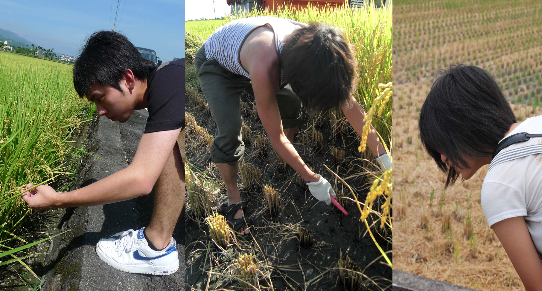 大學生樂當農夫 中原大學透過數位創業推廣環保有機米