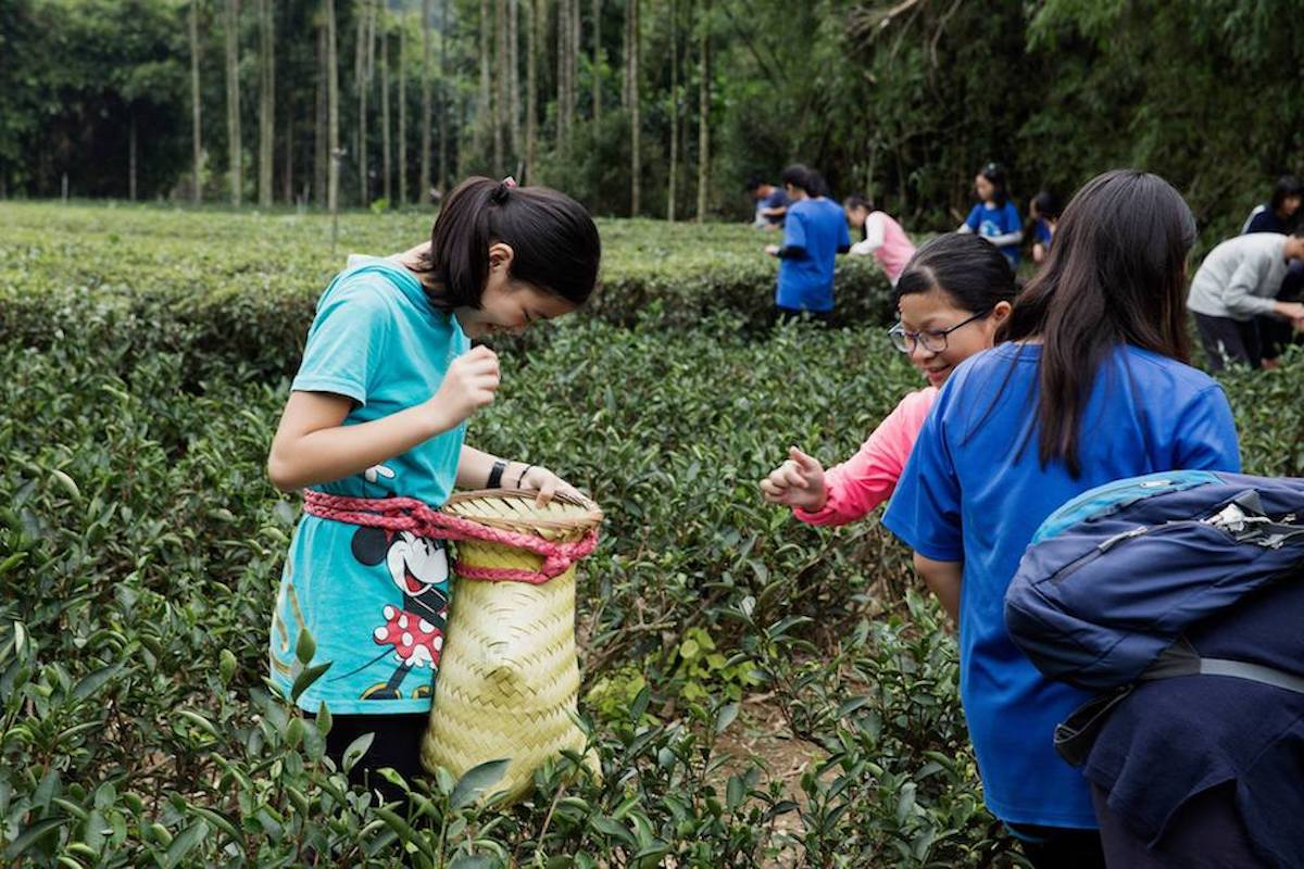 學生體驗採茶「天芳茶行」是三峽傳承五代的製茶世家,在自家茶園自產自銷,傳統手工採茶、製茶技法教學及品茶體驗 | 甘樂文創 | 甘之如飴,樂在其中