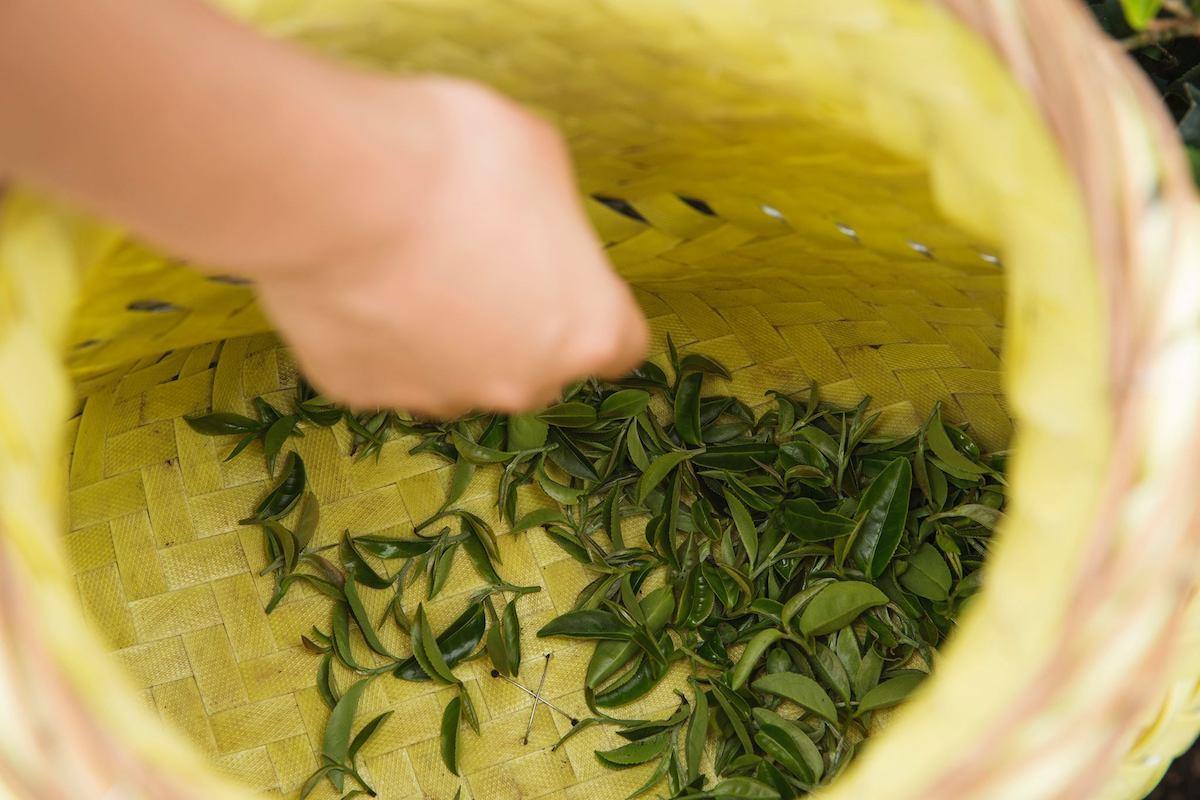 學生體驗採茶「天芳茶行」是三峽傳承五代的製茶世家,在自家茶園自產自銷,傳統手工採茶、製茶技法教學及品茶體驗   甘樂文創   甘之如飴,樂在其中