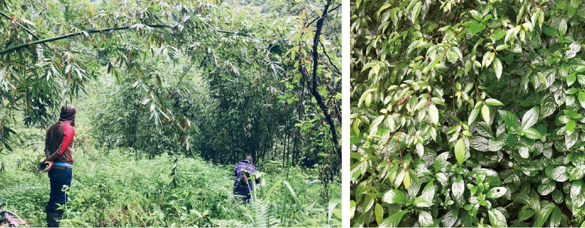產業創生發揮林下經濟,為三峽藍染與製茶等百年產業增值,三峽擁有藍染超過百年,並且擁有先天優良的地理環境適合種植藍染原料「大菁」又稱「馬藍」,染料出產品質優良,日本和香港業者爭相採購,而在地藍染工藝家卻時常面臨苦無原料窘境,因此透過三峽區農會,輔導筍農在筍林下種植大菁,協力復耕更發揮林下經濟,並透過中心媒合產研技術移轉,讓農友學習製作藍染原料「藍泥」技術,創造在地產業經濟,最後由中心協助藍泥商品設計包裝,將三峽在地產銷藍染銷售國外,為在地農業與工藝文化注入創生能量! | 甘樂文創 | 甘之如飴,樂在其中