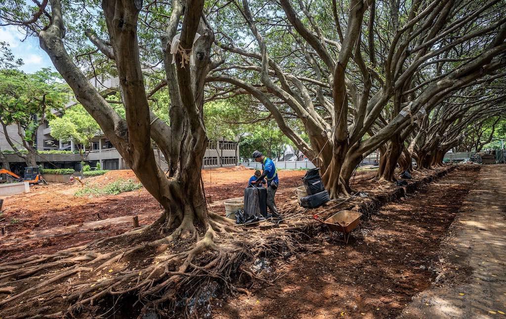 施作工程以榕樹群為主,另特別聘請植物專家協助照護老樹及清洗樹根.jpg